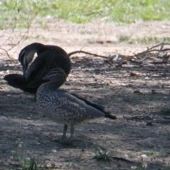 Chenonetta jubata (Australian Wood Duck) at Albury - 10 Feb 2021 by PaulF