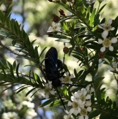 Austroscolia soror (Blue-winged flower wasp) at Acton, ACT - 11 Feb 2021 by TimYiu