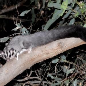 Petaurus norfolcensis at Albury - 10 Feb 2021