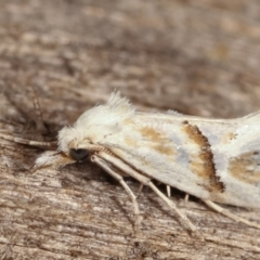 Heliocosma argyroleuca (A tortrix or leafroller moth) at Melba, ACT - 8 Feb 2021 by kasiaaus