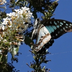 Graphium eurypylus (Pale triangle) at Hughes, ACT - 11 Feb 2021 by JackyF