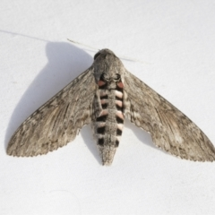 Agrius convolvuli (Convolvulus Hawk Moth) at Higgins, ACT - 11 Feb 2021 by AlisonMilton