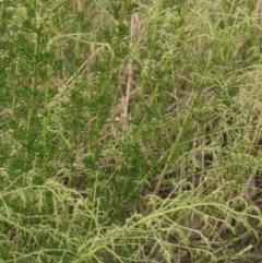 Cassinia sifton (Sifton bush, Chinese Shrub) at Hall Cemetery - 10 Feb 2021 by pinnaCLE