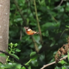 Vanessa itea (Yellow Admiral) at Cotter Reserve - 10 Feb 2021 by RodDeb