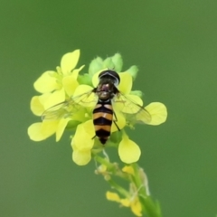 Melangyna viridiceps (Hover fly) at Cotter Reserve - 10 Feb 2021 by RodDeb