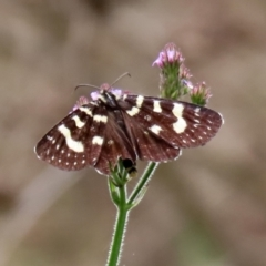 Phalaenoides tristifica (Willow-herb Day-moth) at Cotter Reserve - 10 Feb 2021 by RodDeb