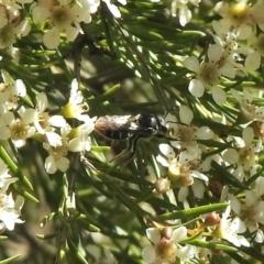 Lipotriches (Austronomia) ferricauda (Halictid bee) at Aranda, ACT - 11 Feb 2021 by KMcCue