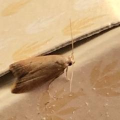 Tachystola acroxantha (A Concealer moth) at Aranda, ACT - 9 Feb 2021 by KMcCue