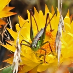 Chlorodectes montanus (Montane green shield back katydid) at Namadgi National Park - 11 Feb 2021 by JohnBundock