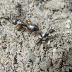 Camponotus nigroaeneus (Sugar ant) at Rugosa at Yass River - 9 Feb 2021 by SenexRugosus