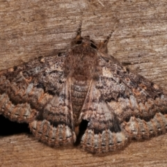 Eudesmeola lawsoni (Lawson's Night Moth) at Melba, ACT - 6 Feb 2021 by kasiaaus
