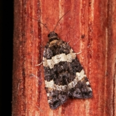 Asthenoptycha sphaltica (A Totricid moth) at Melba, ACT - 6 Feb 2021 by kasiaaus