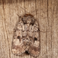 Thoracolopha verecunda (A Noctuid moth (group)) at Melba, ACT - 6 Feb 2021 by kasiaaus