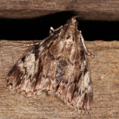 Salma cinerascens (A Pyralid moth) at Melba, ACT - 6 Feb 2021 by kasiaaus