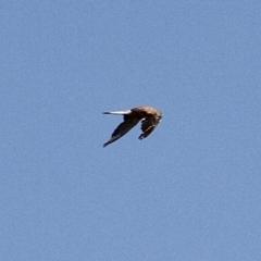 Falco cenchroides (Nankeen Kestrel) at Murrumbateman, NSW - 10 Feb 2021 by davobj