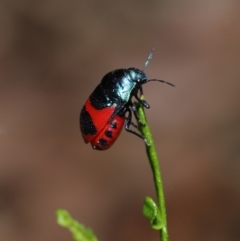 Choerocoris paganus (Ground shield bug) at ANBG - 7 Feb 2021 by TimL