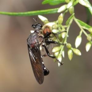 Chrysopogon sp. (genus) at ANBG - 7 Feb 2021