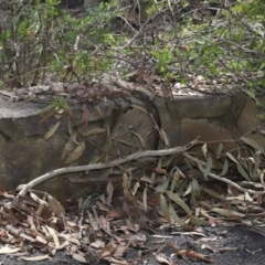 Pseudonaja textilis (Eastern Brown Snake) at ANBG - 7 Feb 2021 by TimL