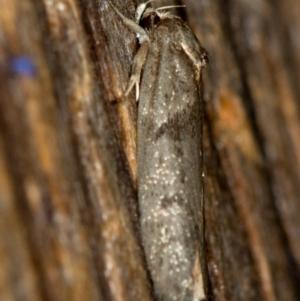 Blastobasis (genus) at Melba, ACT - 8 Feb 2021