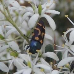 Castiarina flavopicta (Flavopicta jewel beetle) at Tidbinbilla Nature Reserve - 11 Feb 2021 by michaelb