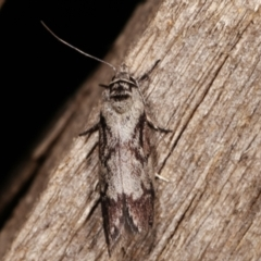 Oenochroa dinosema (A Concealer moth) at Melba, ACT - 15 Jan 2021 by kasiaaus