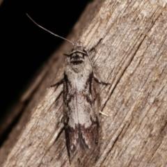 Oenochroa dinosema (A Concealer moth) at Melba, ACT - 15 Jan 2021 by kasiaaus