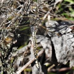 Anax papuensis (Australian Emperor) at Namadgi National Park - 10 Feb 2021 by JohnBundock