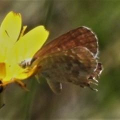 Theclinesthes miskini (TBC) at Cotter River, ACT - 11 Feb 2021 by JohnBundock