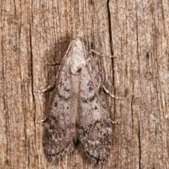 Heteromicta pachytera (Pyralid moth) at Melba, ACT - 8 Feb 2021 by kasiaaus