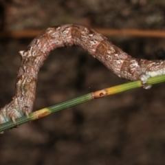 Unplaced externaria (Mahogany Bark Moth) at Melba, ACT - 14 Mar 2021 by kasiaaus