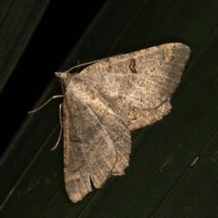 Dissomorphia australiaria (Dashed Geometrid) at Melba, ACT - 8 Feb 2021 by Bron