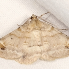 Syneora hemeropa (Ring-tipped Bark Moth) at Melba, ACT - 9 Feb 2021 by kasiaaus