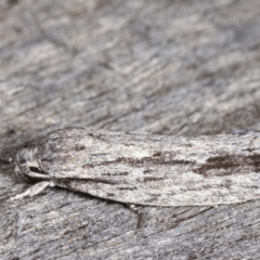 Agriophara platyscia (A Concealer moth) at Melba, ACT - 9 Feb 2021 by kasiaaus