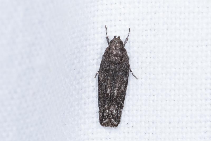 Ardozyga (genus) at Melba, ACT - 10 Feb 2021