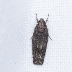 Ardozyga (genus) (Twirler moth, gelechiid moth) at Melba, ACT - 9 Feb 2021 by kasiaaus