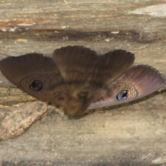 Dasypodia selenophora (Southern old lady moth) at Lower Cotter Catchment - 11 Feb 2021 by Christine