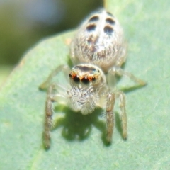 Opisthoncus sexmaculatus (Six-marked jumping spider) at Lower Cotter Catchment - 10 Feb 2021 by Christine