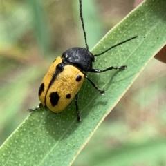 Cadmus (Cadmus) litigiosus (Leaf beetle) at Murrumbateman, NSW - 12 Feb 2021 by SimoneC