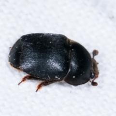 Aethina sp. (genus) (Sap beetle) at Melba, ACT - 10 Feb 2021 by kasiaaus