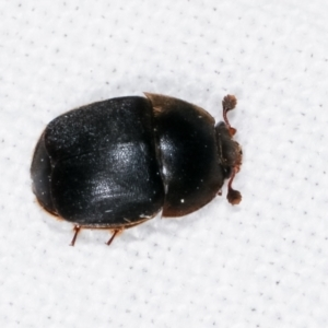 Aethina sp. (genus) at Melba, ACT - 10 Feb 2021