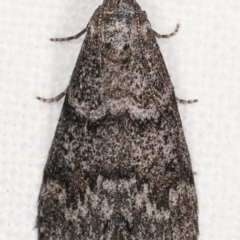 Heteromicta pachytera at Melba, ACT - 10 Feb 2021