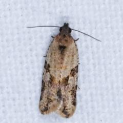 Dichelia clarana (A Tortricid moth) at Melba, ACT - 10 Feb 2021 by kasiaaus