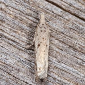 Olethreutinae (subfamily) at Melba, ACT - 11 Feb 2021