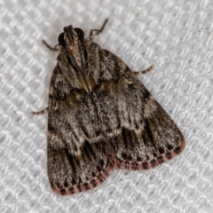 Spectrotrota fimbrialis (A Pyralid moth) at Melba, ACT - 8 Feb 2021 by Bron