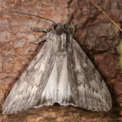 Capusa senilis (Black-banded Wedge-moth) at Melba, ACT - 10 Feb 2021 by kasiaaus