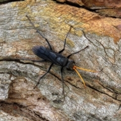 Pompilidae sp. (family) (Unidentified Spider wasp) at Jerrabomberra Wetlands - 12 Feb 2021 by RodDeb