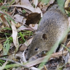 Isoodon obesulus (Southern Brown Bandicoot) at Tidbinbilla Nature Reserve - 17 Feb 2019 by regeraghty