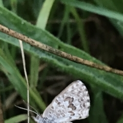 Lucia limbaria (Chequered Copper) at Garran, ACT - 12 Feb 2021 by Tapirlord