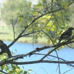 Sturnus vulgaris (Common Starling) at Yerrabi Pond - 11 Feb 2021 by TrishGungahlin