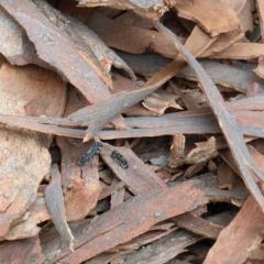Mutillidae sp. (family) (Unidentified 'velvet ant') at Dryandra St Woodland - 9 Feb 2021 by ConBoekel